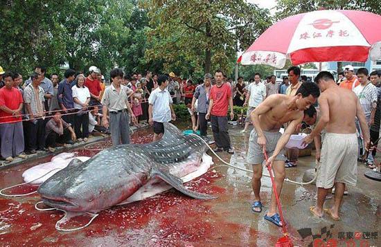 Giant Catfish Eating Man